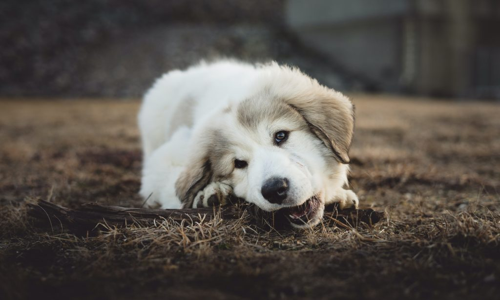Puppy chewing something from the ground.