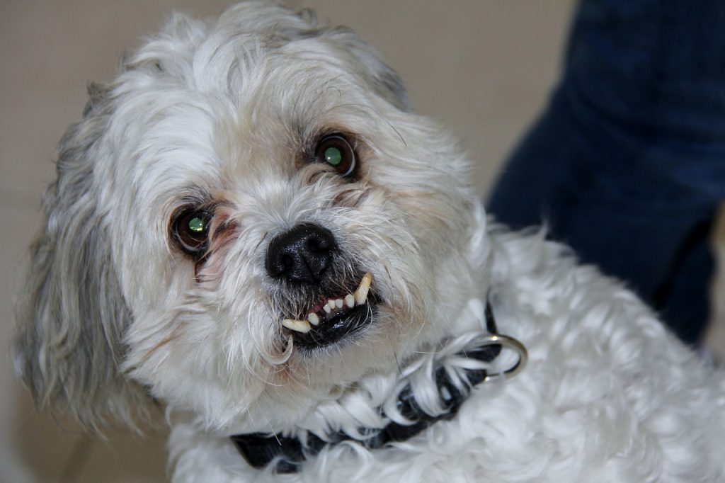 Shih Tzu with teeth out.