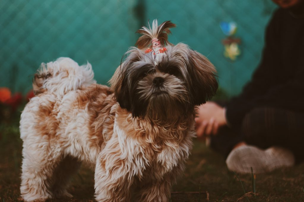 Brown Shih Tzu with top knot.