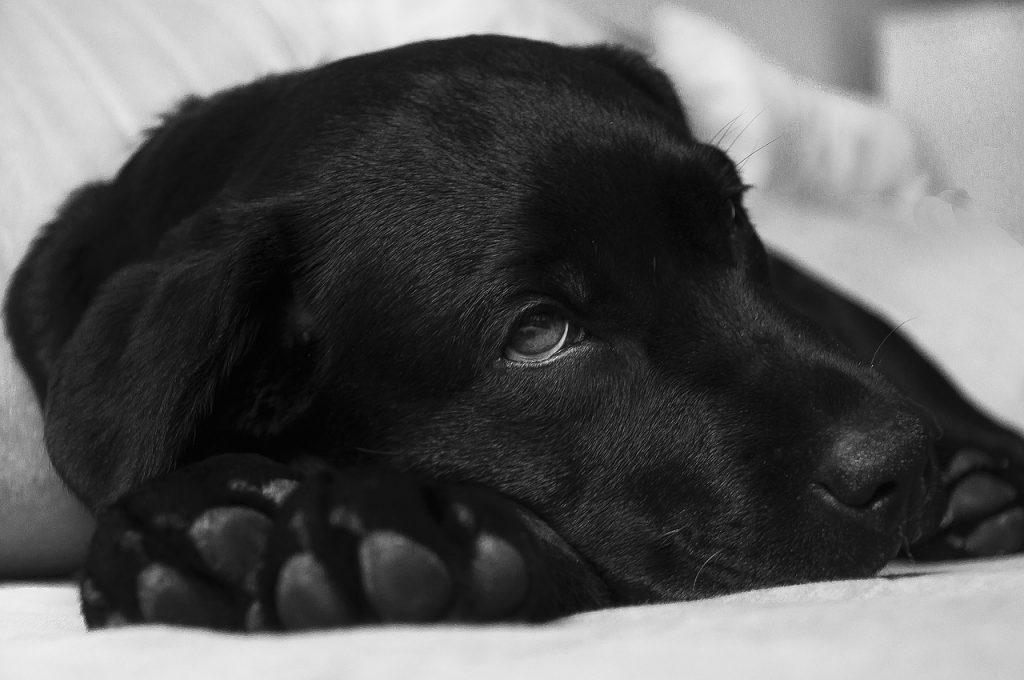 Sleepy black dog.