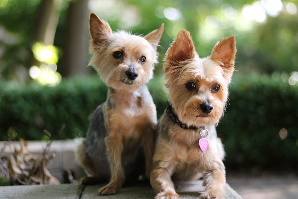 Two brown Yorkie.