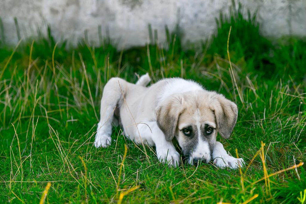White dog by grass.