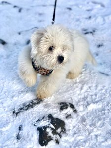 White puppy with leash on snow.