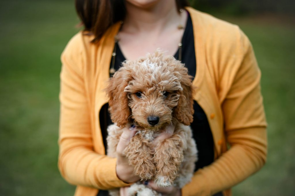 Woman holding a goldendoodle.
