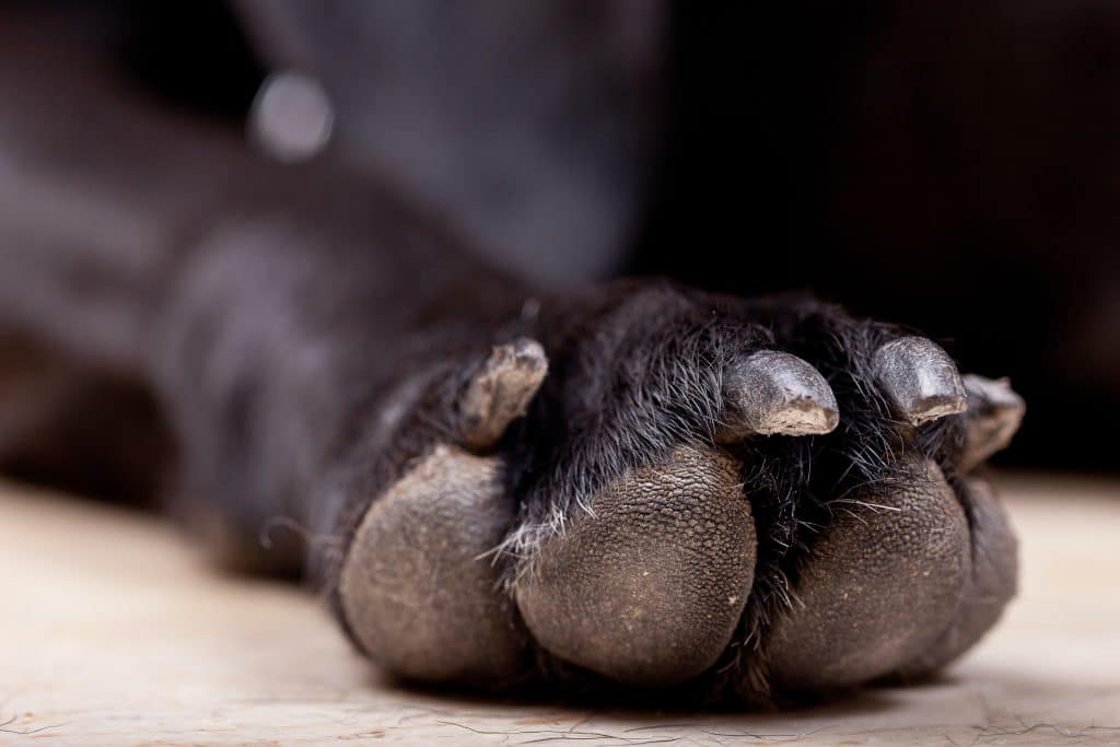 Black dog's nails.