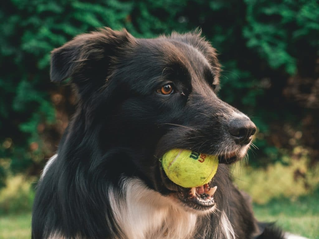 Dog with a tennis ball.