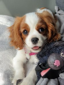 Dog with a plushie.