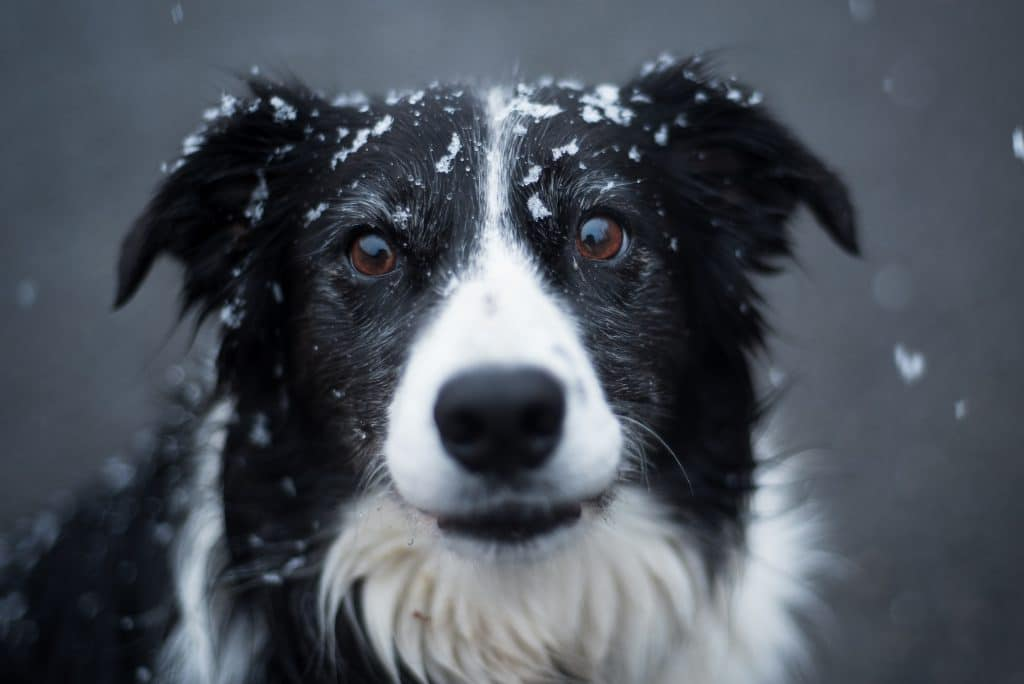 Dog with snowflakes on the head.