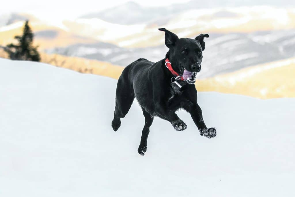 Dog jumping in snow.