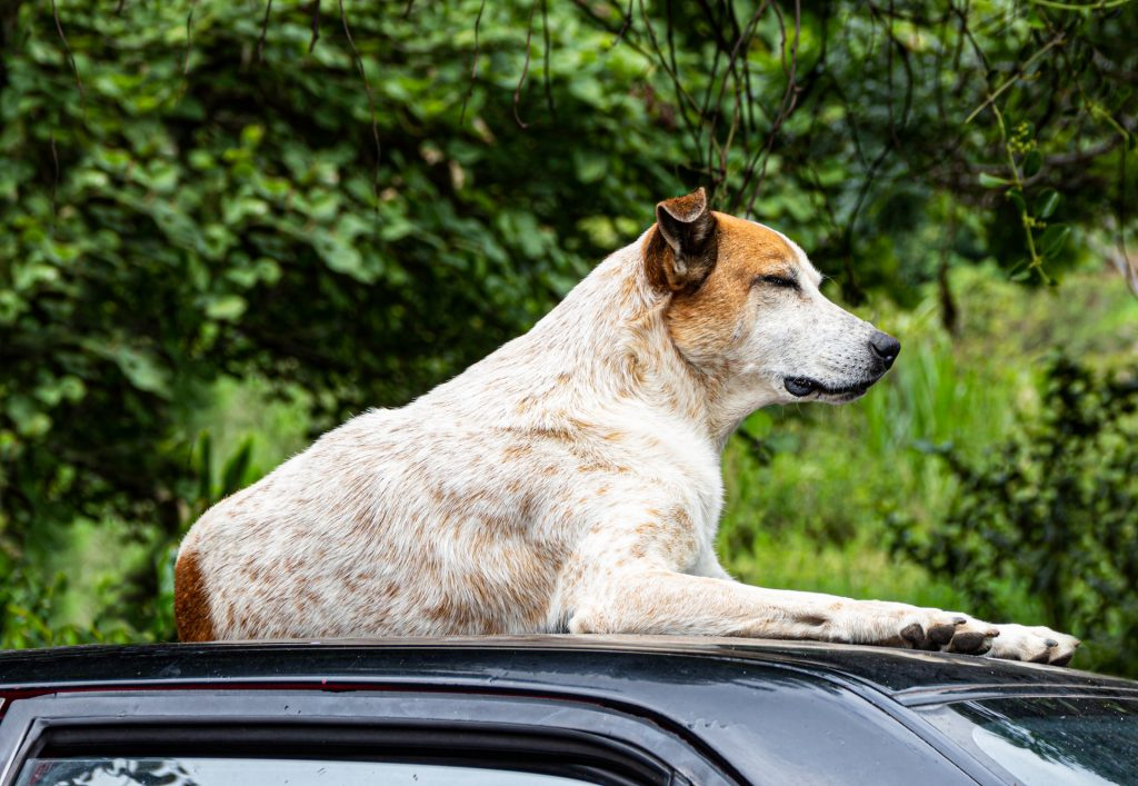 Dog on top of a car.