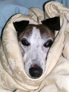 Dog wrapped in blanket.