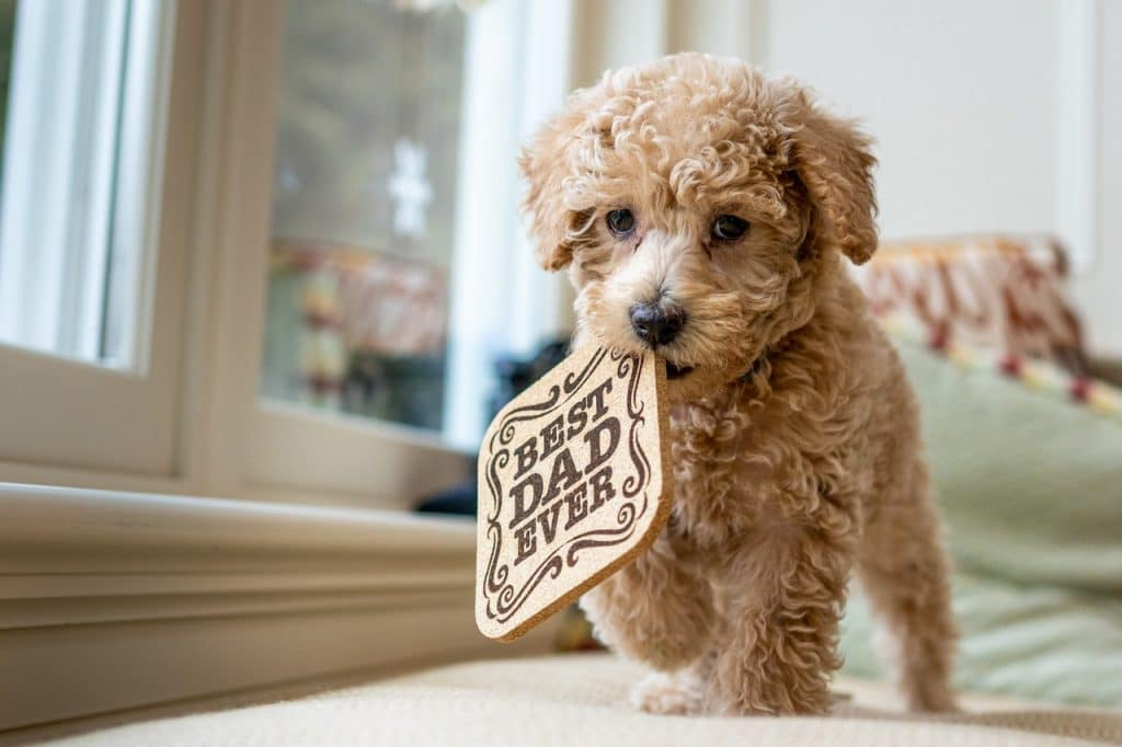 A Labradoodle holding a sign.