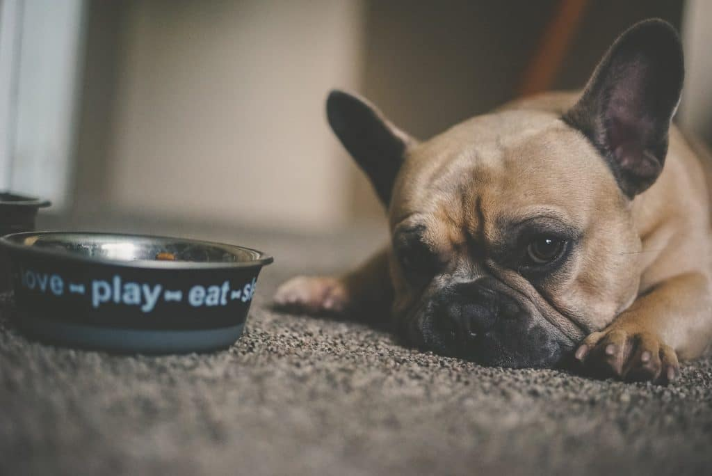 Pug in front of food bowl.