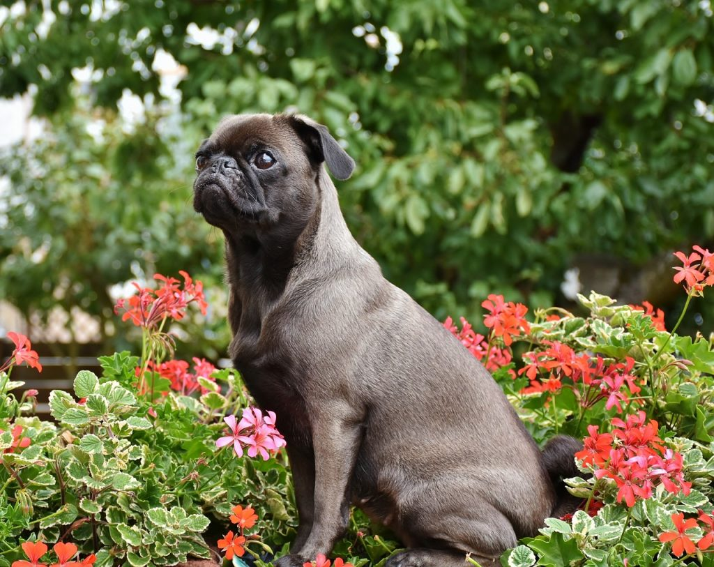 Pug in sit position.