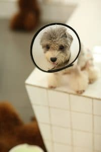 Puppy with a dog cone.