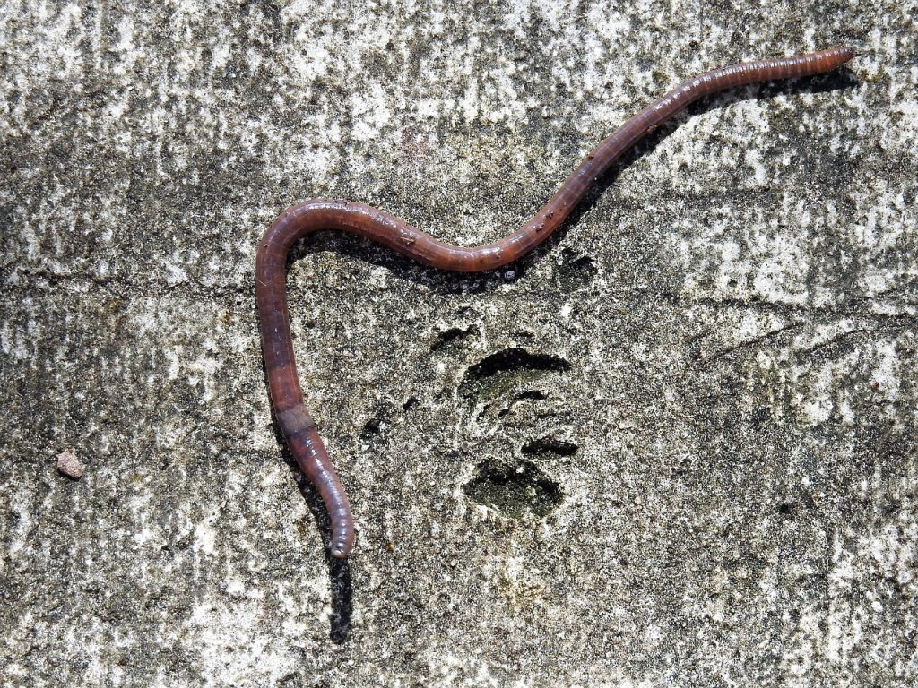 Red worm.