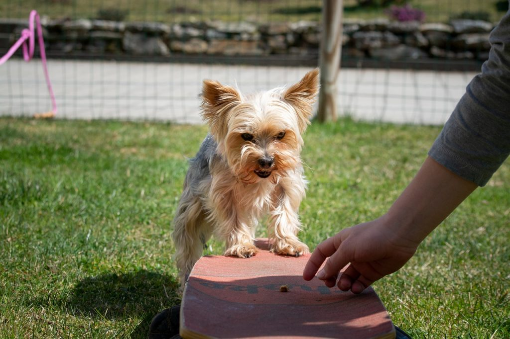Small dog being trained.