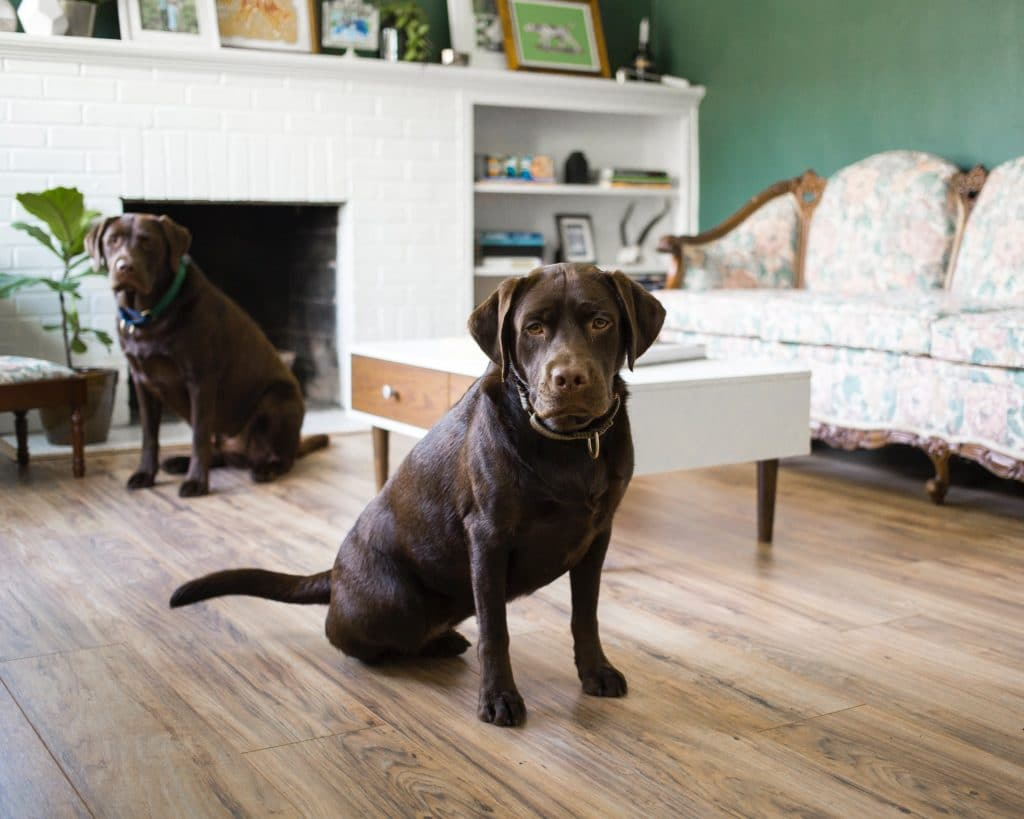 Two brown labs.