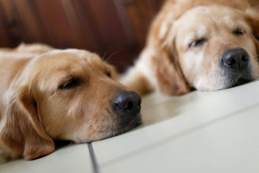 Two sleeping Golden Retrievers.