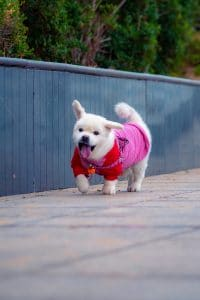 White puppy with pink shirt walking.