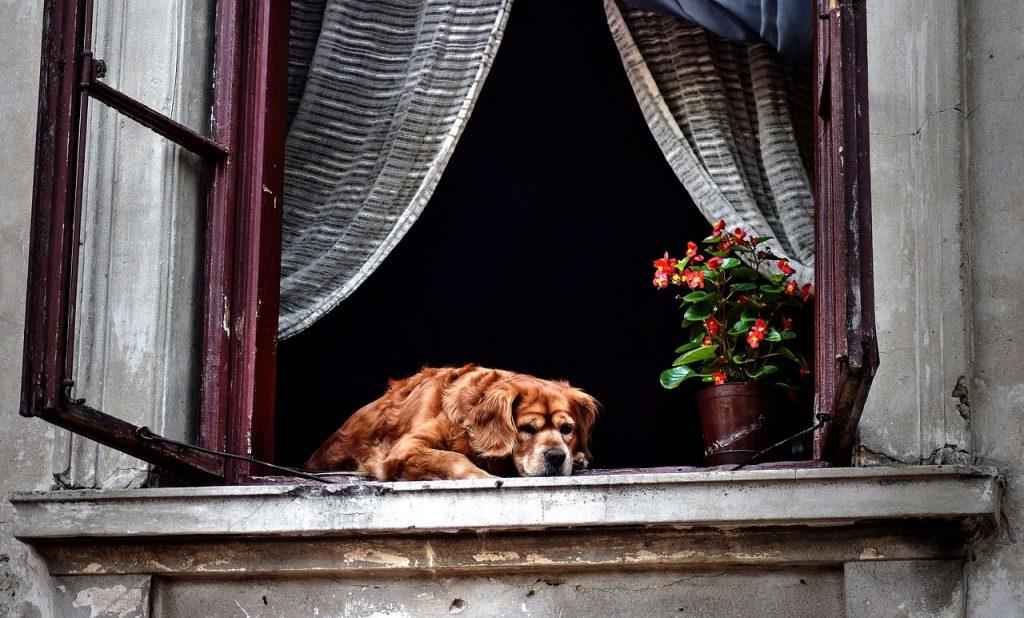 Dog lying by a window.