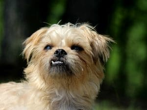 The Brussels Griffon.