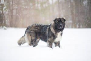 Russian Prison Dog.