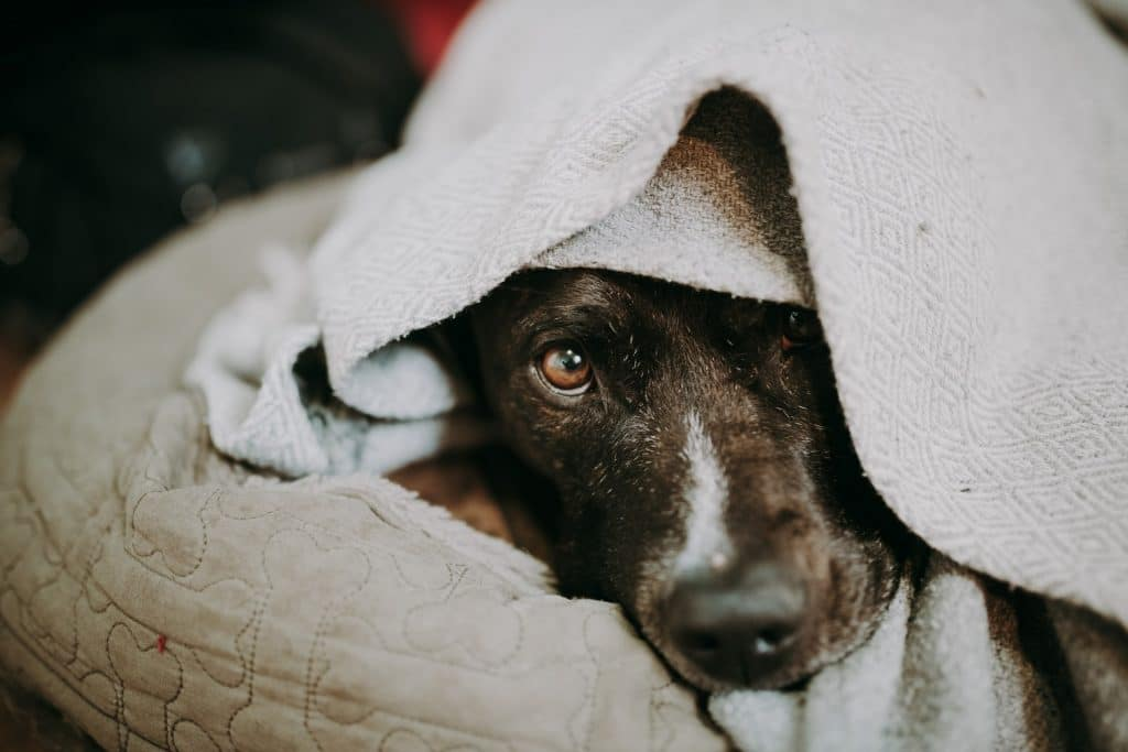 Dog covered with a white blanket.