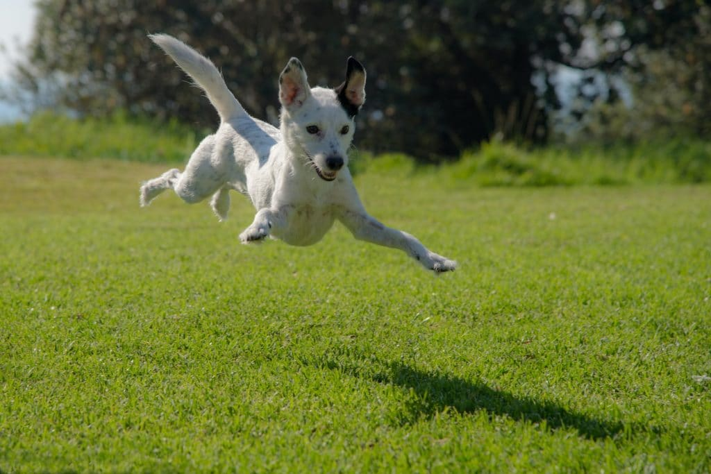 Dog jumping and flying.