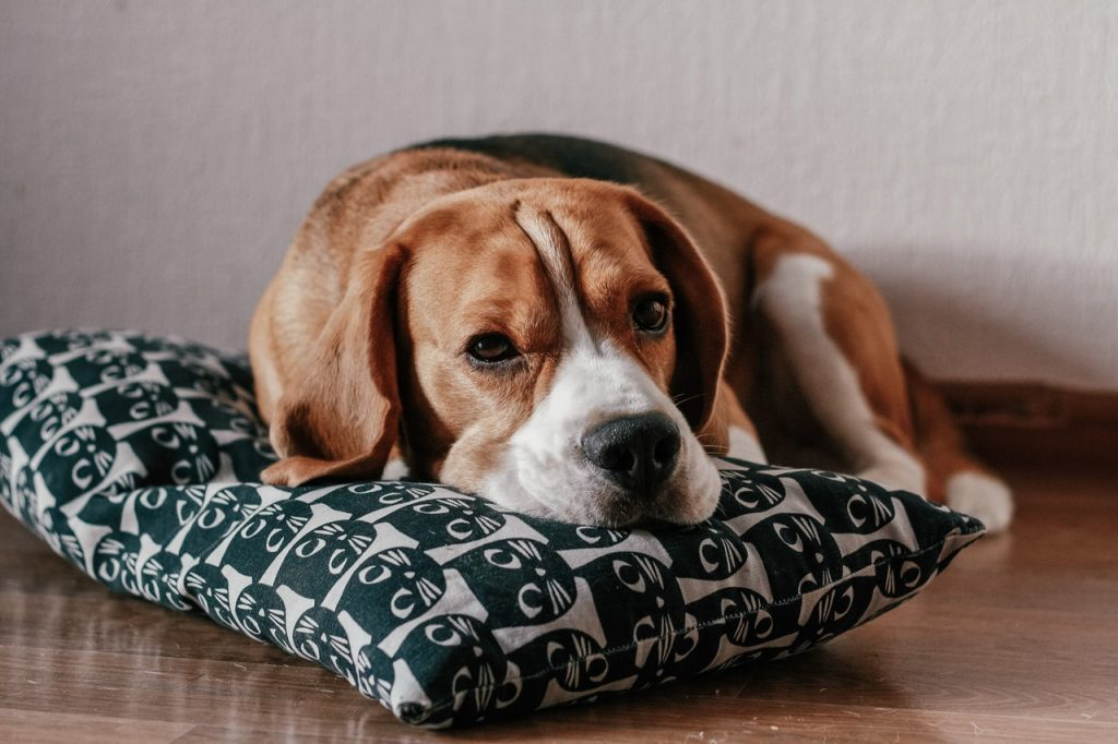 Dog lying on a pillow.