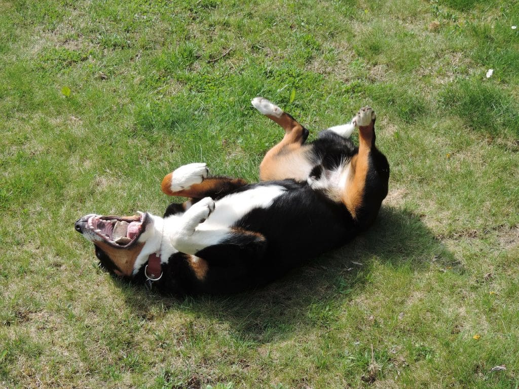 Dog rolling on the grass.