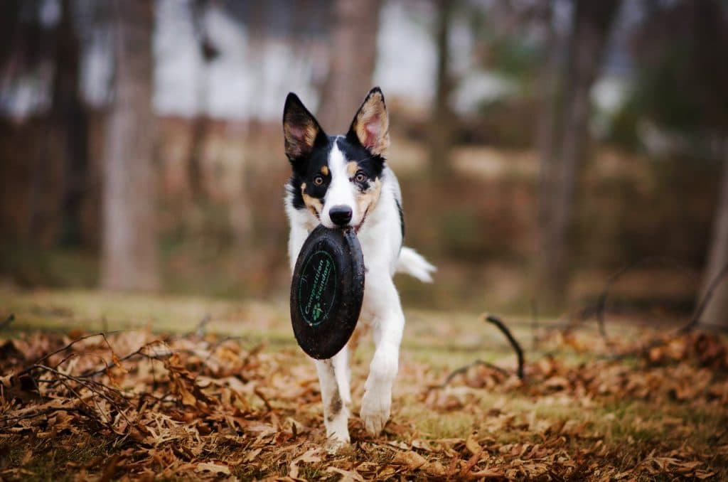 Dog with a black frisbee.