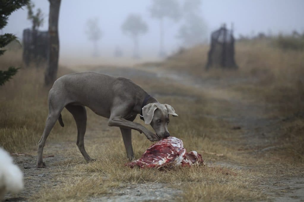 A dog with raw meat outside.