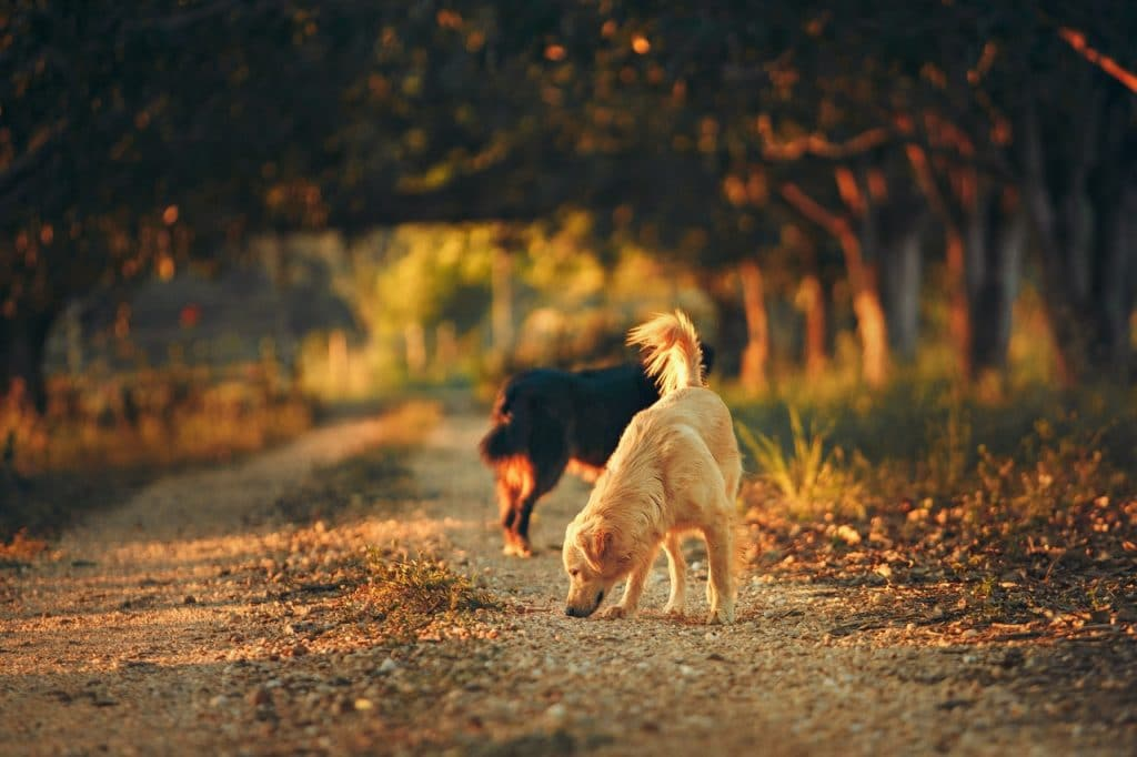 Two dogs by woods.