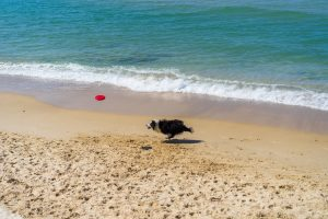 Border collie fetching toy by beach.