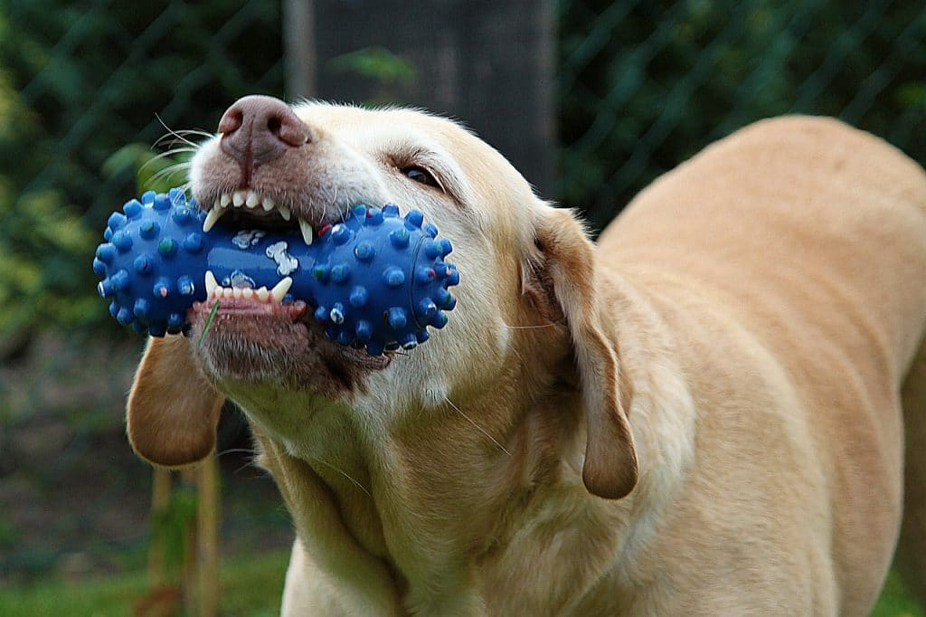 Dog with blue chew toy,