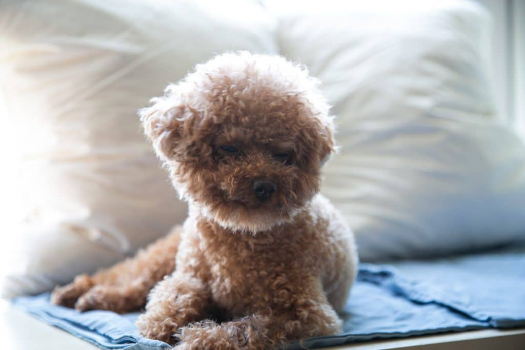 Poodle with one eye open.