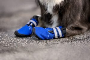 Closeup of dog wearing blue boots.
