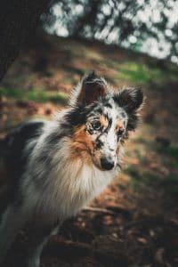 Dog with merle coat.