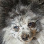 Merle Pomeranian.