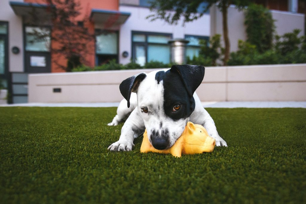 Dog chewing on a toy pig.