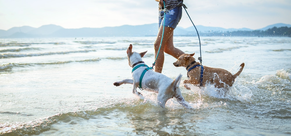 Dogs running at beach with owner.