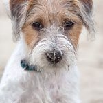 Parson Russell Terrier.