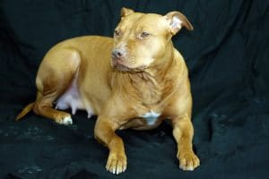 Red nose pit bull.