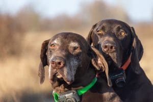 Two dogs wearing electric collars.