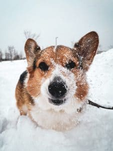 Dog covered with snow.