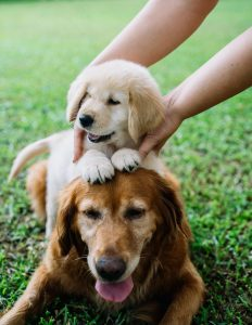 Golden Retriever puppy and adult.
